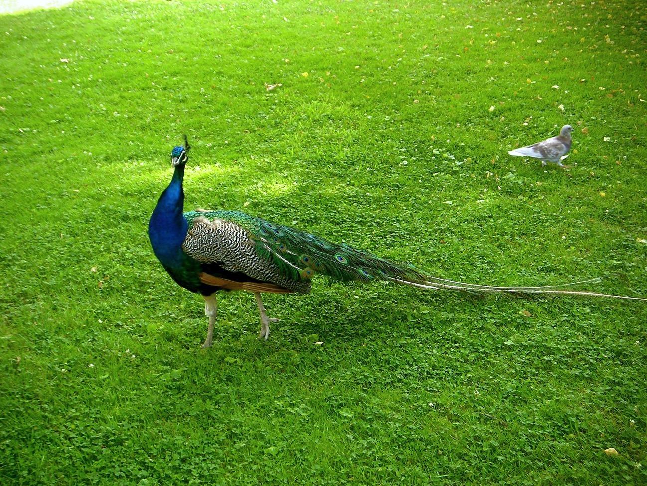 Foto piccione
